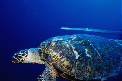 634072 Hawksbill Turtle And Coronet Fish Red Sea Egypt A4 Photo Print