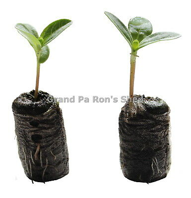 18mm Jiffy-7  Seed Propagation Peat Pellet  x  Qty 50
