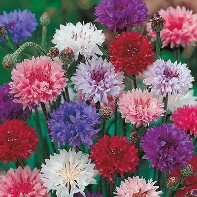 New Pack Kings Seed Cornflower 'Double Mixed' Flower Seeds