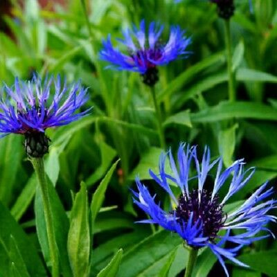 Centaurea montana - Mountain Cornflower - 25 Seeds