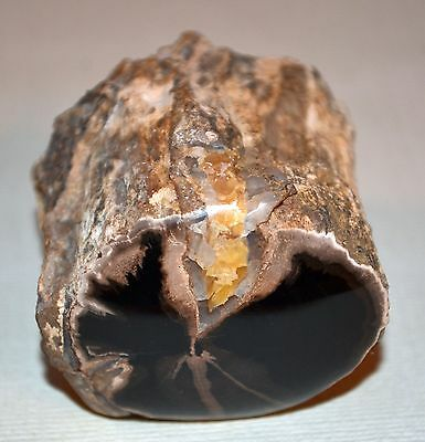 Petrified Agatize Wood Limb Casting From Wyoming Cut & Polished
