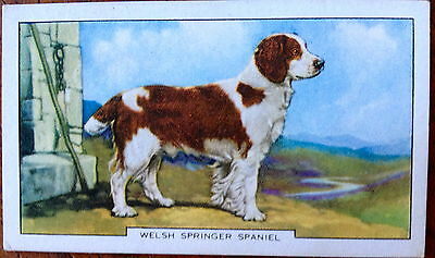 Vintage 1938 Gallaher Tobacco Card Welsh Springer Spaniel