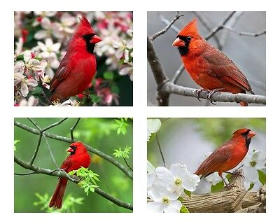 4 ~ Red Cardinal / Birds 8 x 10 / 8x10 GLOSSY Photo Picture LOT