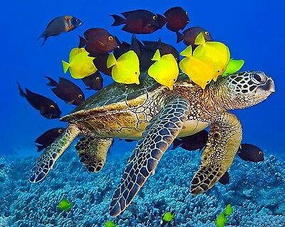 Sea Turtle 8 x 10 / 8x10 GLOSSY Photo Picture IMAGE #2