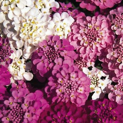 Pack Kings Seed Candytuft 'Spangles Mixed' Quality Flower Seeds