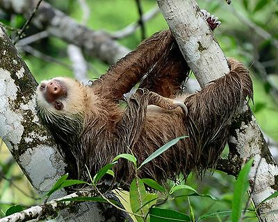 Sloth / Sloths 8 x 10 GLOSSY Photo Picture