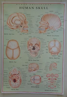 The Human Skull Anatomical Laminated Licensed Poster Chart Skull Anatomy
