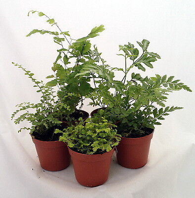 "Mini Ferns for Terrariums/Fairy Garden -Assortment of 5 Different Plants-2"" Pots"