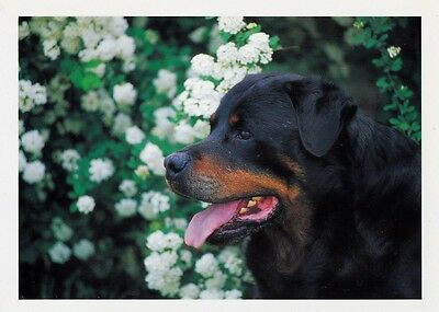 ROTTWEILER Postcard - photo by Mark Raycroft saying by Madame De Sevigne!