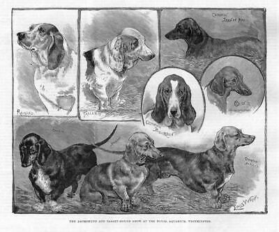 Louis Wain Dogs Dachshund And Basset Hound Show At Royal Aquarium Westminster