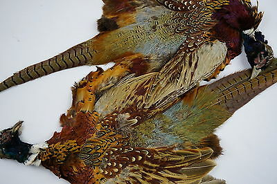 2 Ringneck Pheasant Pelts Feathers Fly-Tying Crafts