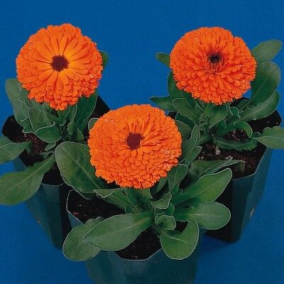 Calendula - Calypso Orange - 40 Seeds