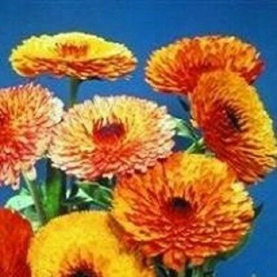 Calendula - Touch of Red Mixed - 50 Seeds