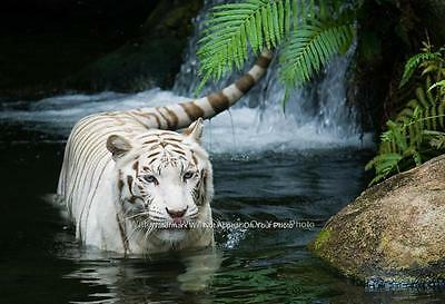 Rare White Bengal Tiger Color Poster Photo Picture Zoo Pet Shop Kids Room Decor