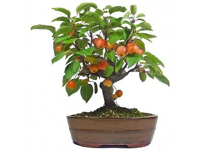 MANZANO  SIBERIA ideal Bonsai Malus Bacatta 20 semillas seeds graines