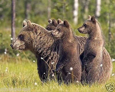 Bears / Bear Cubs 8 x 10 / 8x10 GLOSSY Photo Picture Image #5