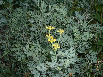 Herb Seed: Rue Seeds 200+ Seeds Fresh Seed   FREE Shipping