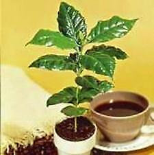 Dwf Coffee Bean Tree 10 Seeds-Coffea arabica nana