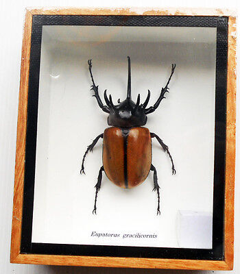 Real Exotic 5 Horned Fighting Beetle Eupatorus Gracilicornis taxidermy insect