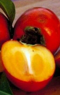 * JAPANESE PERSIMMON TREE * MAKES A GREAT BONSAI!! SEEDS