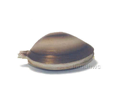 AAA 95817 Small Clam Mollusc Sea Shell Sealife Model Toy Shellfish Replica - NIP