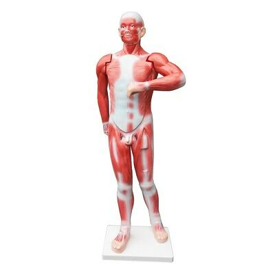 Human Anatomical Muscular Model Muscle System Medical Anatomy Skeleton
