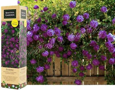 1 Purple Fragrant Climbing Bush Rose Bare Rooted Grden Plant Shrub