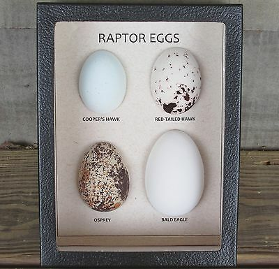 Replica RAPTOR EGGS Set of 4 framed Hawk Eagle Osprey USA bird egg museum USA