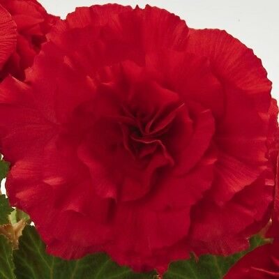 Begonia - Nonstop Red F1 - 25 Seeds