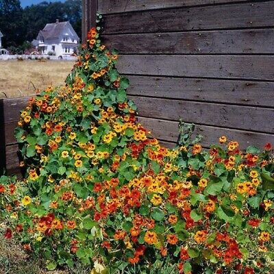 Kings Seeds - Nasturtium Climbing Mixed - 40 Seeds