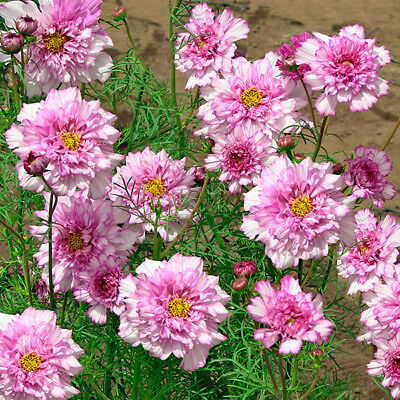 Cosmos - Double Click Bi-Colour Pink - 20 Seeds