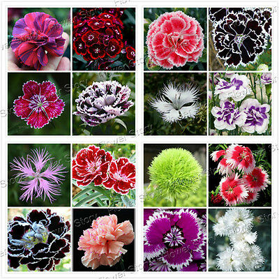 200 Dianthus Seeds 16Colors Sweet William Flower DIY Home Garden Free Shipping