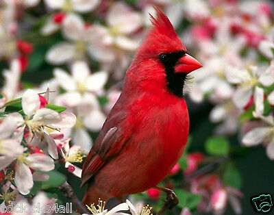 Red Cardinal / BIRD 11 x 14 / 11x14 GLOSSY Photo Picture