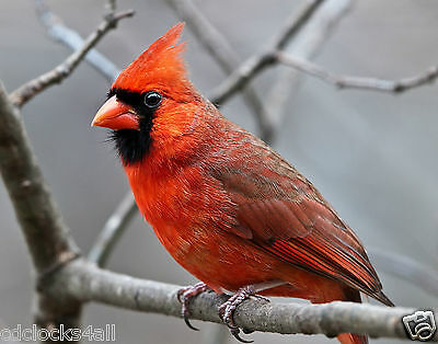 Red Cardinal / BIRD 11 x 14 / 11x14 GLOSSY Photo Picture IMAGE #3