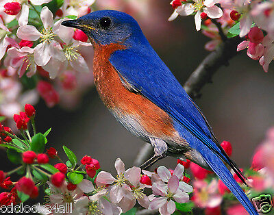 Blue Bird 11 x 14 / 11x14 GLOSSY Photo Picture IMAGE #2