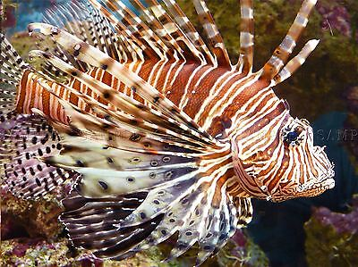 Animal Fish Lionfish Scales Fin Tropical Large Poster Art Print Bb2960A