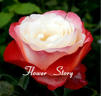 200 Nostalgia Rose Seeds Unbelievably Gorgeous Landscaping Flower  Free Ship