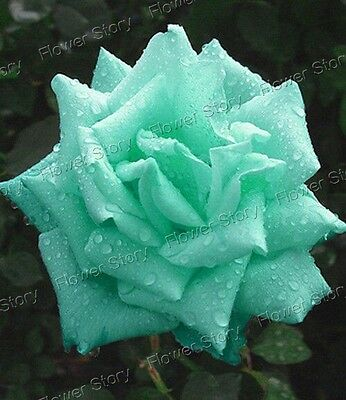 200 Mint Green Rose Seeds Long Blossom Garden Flower Seeds Free Postage