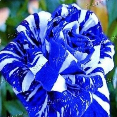 200 Blue Dragon Rose Seeds  Blossom Fragrant Beautiful  Flower  Free Shipping