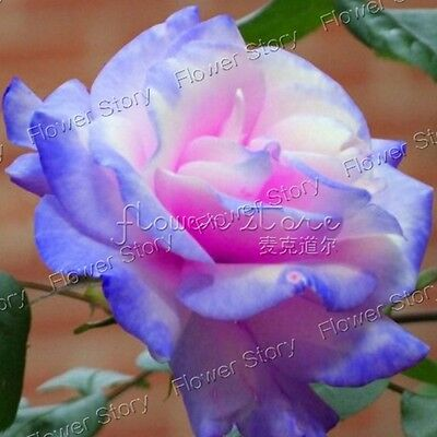 200 Stifling Remorse Rose Seeds Great Scent Bush Garden Flower Free Postage