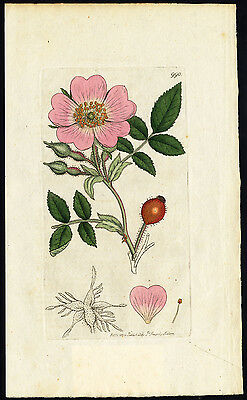 Antique Botany Print-DOWNY LEAVED DOG ROSE-Smith-Sowerby-1802