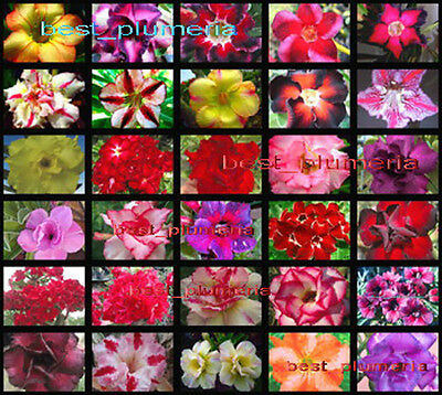 """Adenium Obesum """"identified by color""""115 Seeds 30 Type"""