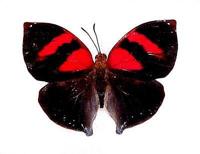 BUTTERFLY/MOTH/MOUNTED Tiny El Salvador Beauty SIDERONE GALANTHIS