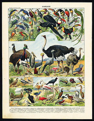 Antique Print-OSTRICH-CASSOWARY-PHEASANT-KINGFISHER-IBIS-TURKEY-Larousse-1897