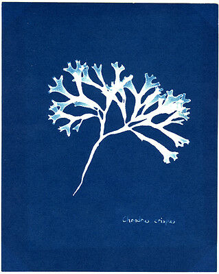 Photo Herbier Photogramme Cyanotype Vers 1980