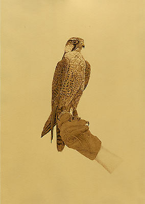 Antique Print-PEREGRINE FALCON-GLOVE-FALCONER-Anonymous-ca. 1980