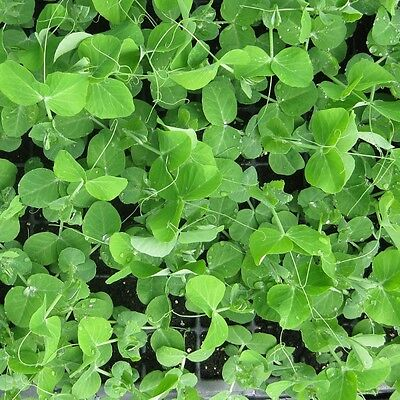 Kings Seeds - Baby Leaf - Pea Serge  - 400 Seeds