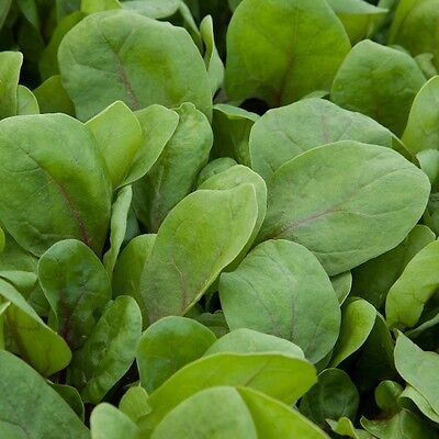 Kings Seeds - Baby Leaf - Spinach Red Kitten F1 - 100 Seeds