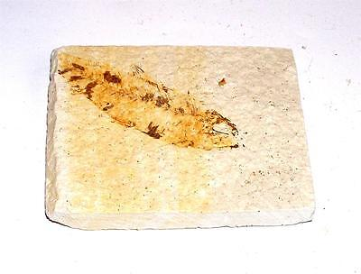 FOSSIL Green River Formation Wyoming 50 Million Years Old FISH F1