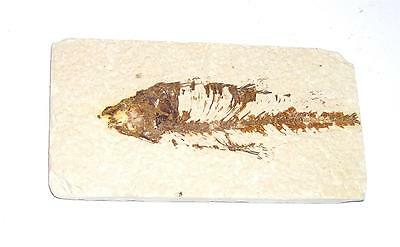 FOSSIL Green River Formation Wyoming 50 Million Years Old FISH F4